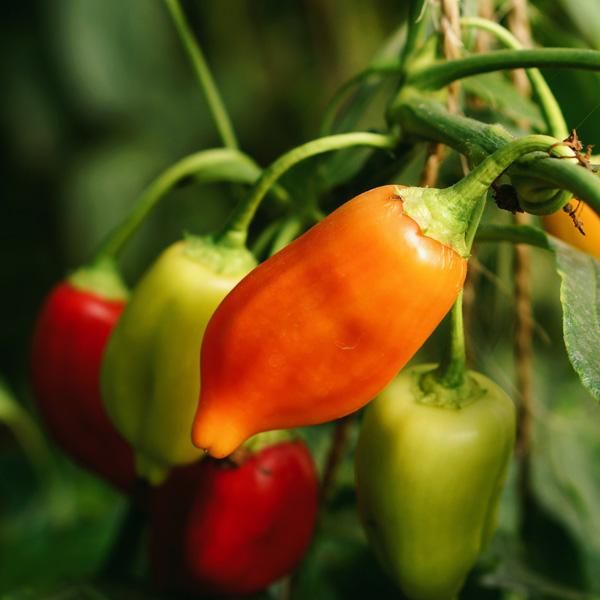 Online Workshop 17: Chilli Sauce