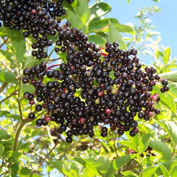 Online Workshop 20: Elderberry Cough Mixture