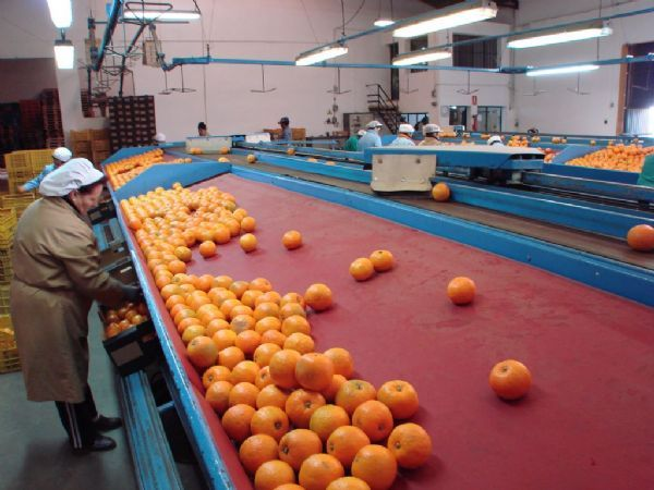 Seville Oranges 1 kg 3