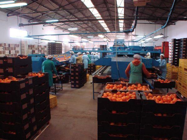 Seville Oranges 1 kg 2