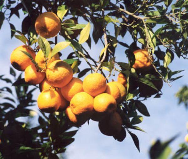 Seville Oranges 1 kg 1
